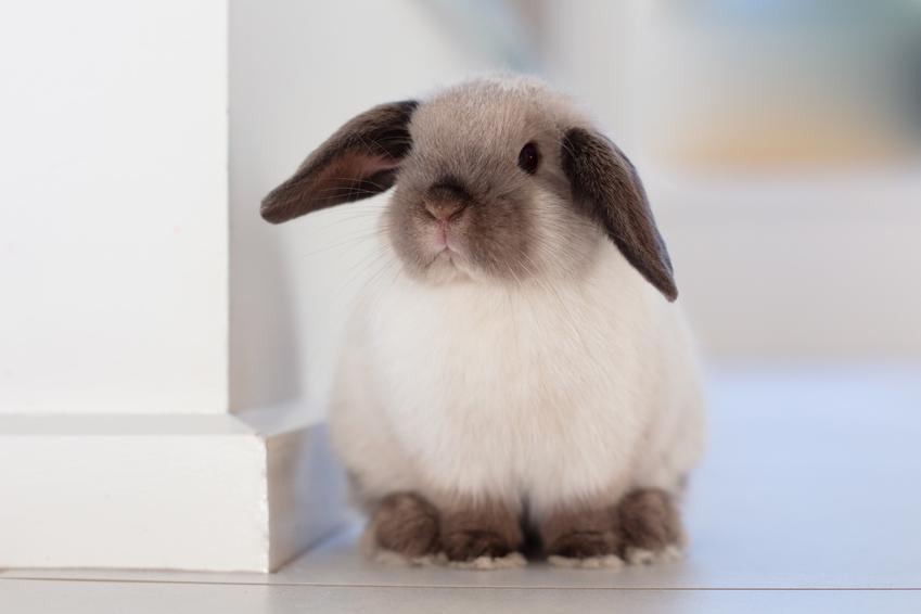 Domowy królik miniaturka siedzący na podłodze, a także jego wychowanie i cena
