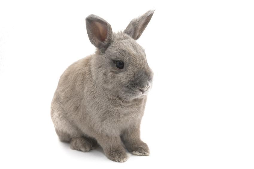 Domowy królik miniaturka na białym tle oraz zdjęcia, opis, charakter i wychowanie