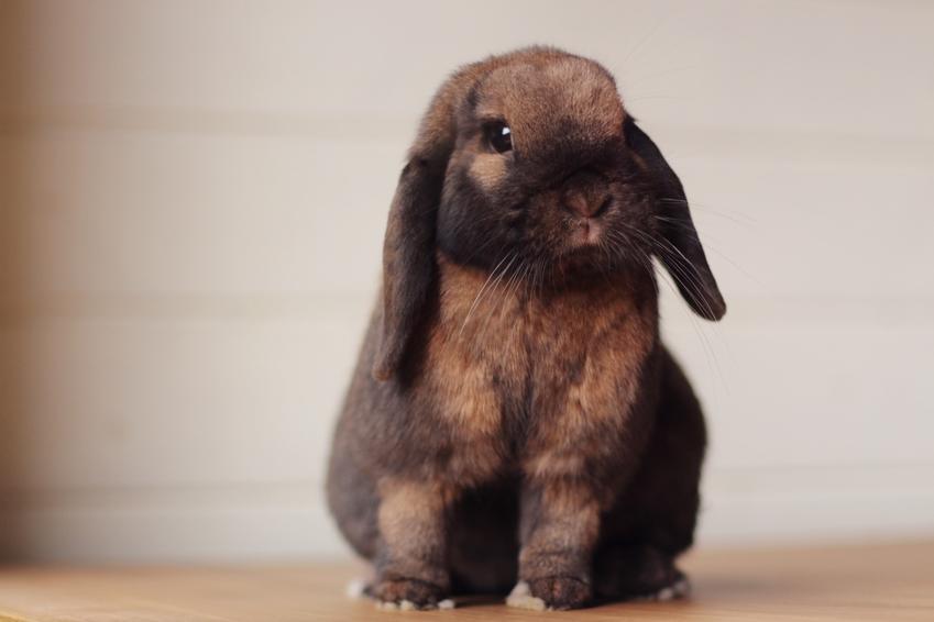 Domowy królik baranek miniaturka brązowy na szarym tle, a także jego opis i żywienie