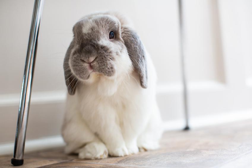 Domowy królik baranek miniaturka biały pod krzesłem, a także jego wychowanie