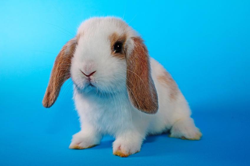 Domowy królik baranek miniaturka na niebieskim tle i jego żywienie oraz wychowanie