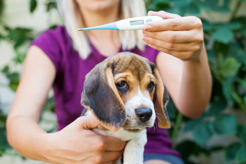 Pies z właścicielką trzymającą termometr, a także temperatura psa i objawy gorączki