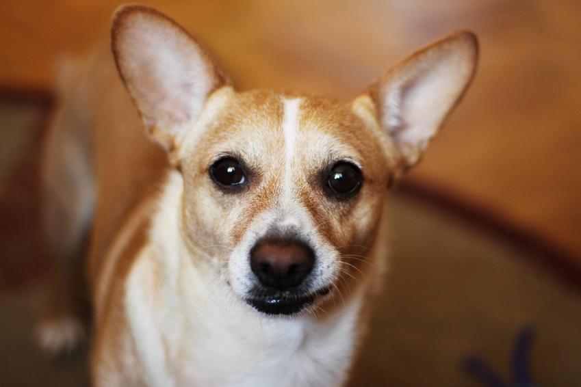 Pies rasy pinczer patrzący w obiektyw, a także usposobienie, charakter, cena i hodowla