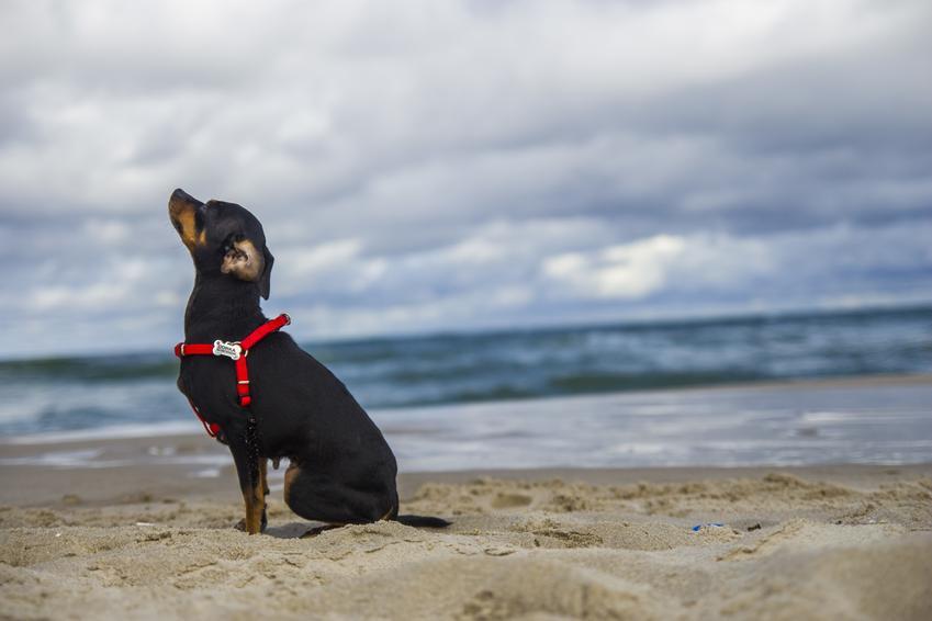 Pies rasy pinczer podczas spaceru nad morzem, a także jego charakter i usposobienie