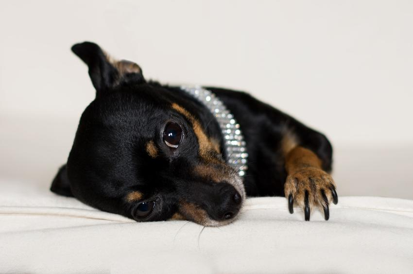 Pies rasy pinczer miniaturowy w srebrnej obroży, a także jego charakter i cena
