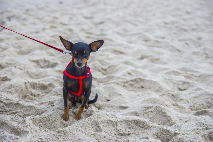 Pies rasy pinczer miniaturowy podczas spaceru na plaży, a także jego charakter i hodowla