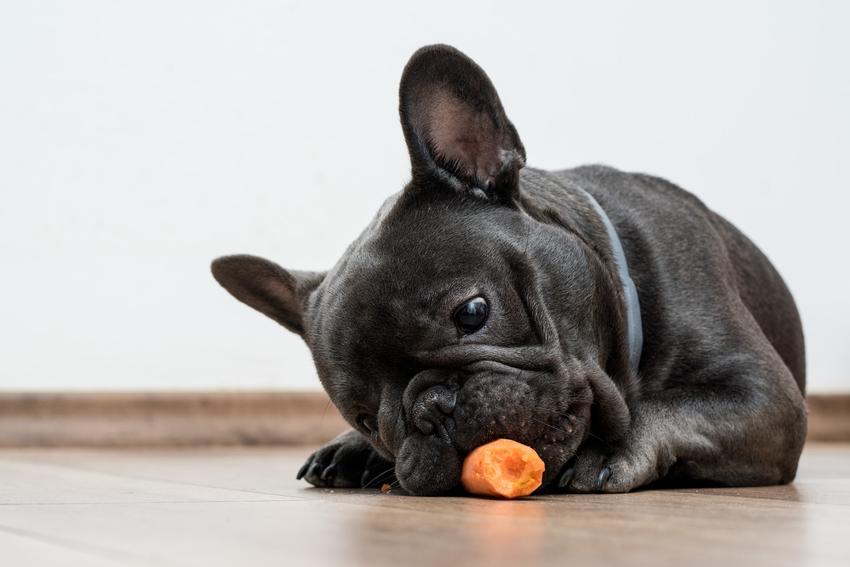 Buldog francuski jedzący marchewkę, a także usposobienie buldoga francuskiego