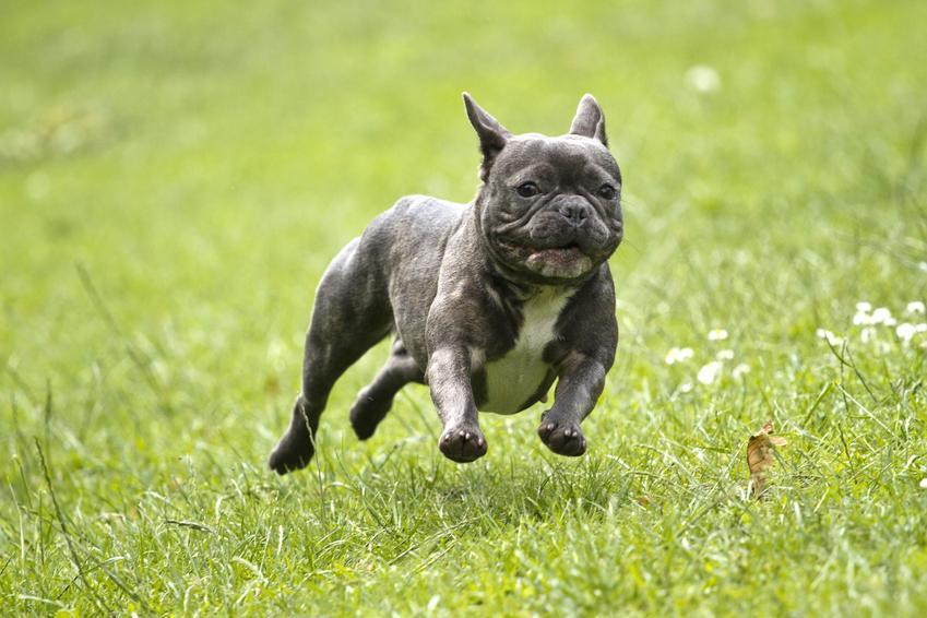 Buldog francuski biegający po trawie oraz charakter usposobienie buldoga francuskiego