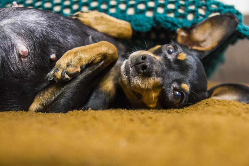Pies rasy niemiecki pinczer średni leżący na kanapie, a także jego charakter i hodowla