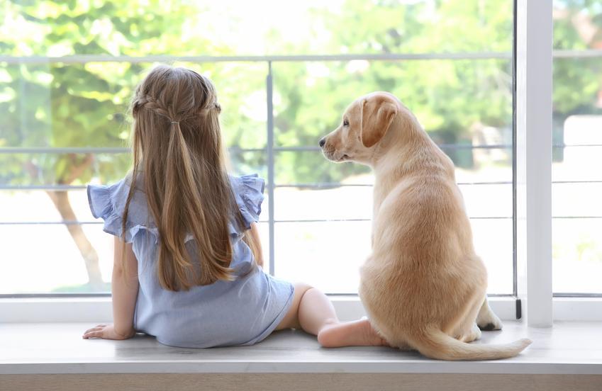 Pies rasy mały labrador siedzący obok dziewczynki, a także charakter i zdjęcia małych labradorów