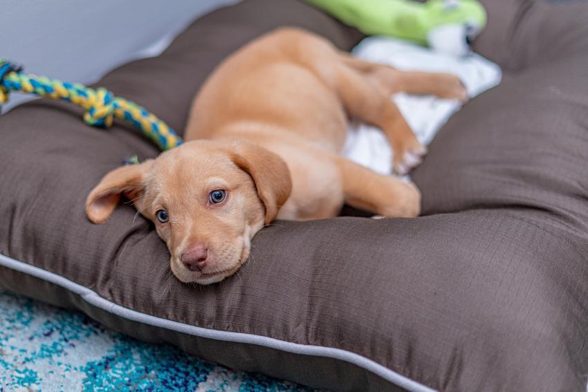 Pies rasy mały labrador leżący na posłaniu, a także jego charakter i hodowla