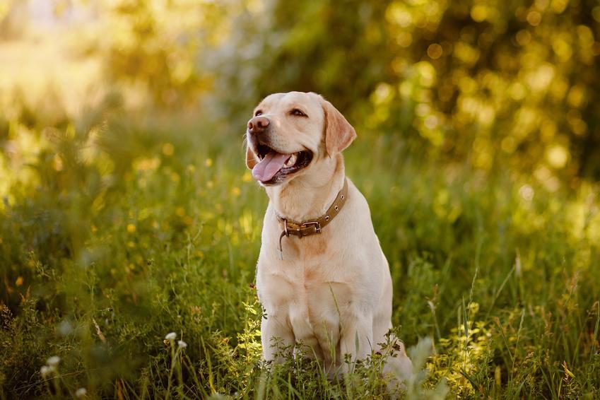 Pies rasy labrador siedzący w trawie, a także usposobienie i charakter labradora