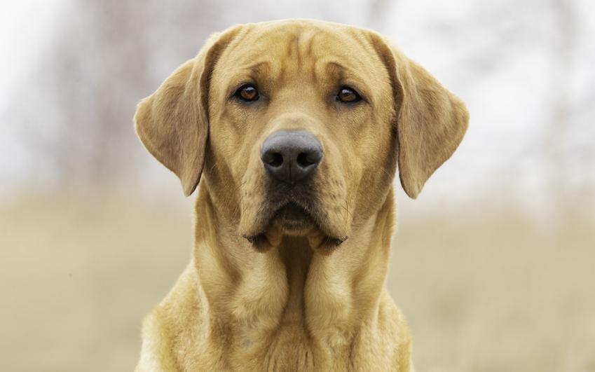 Pies rasy labrado na zdjęciu portretowym, a także usposobienie, hodowla i charakter labradora