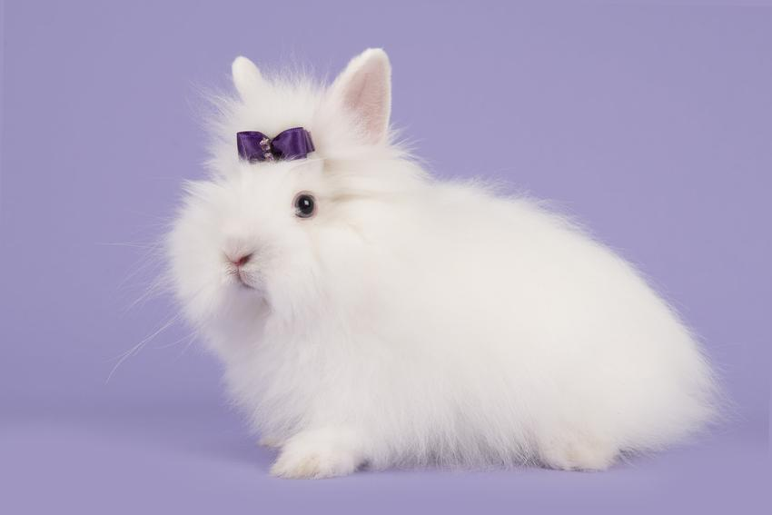 Królik rasy angor na fioletowym tle, a także popularne rodzaje i rasy królików w Polsce