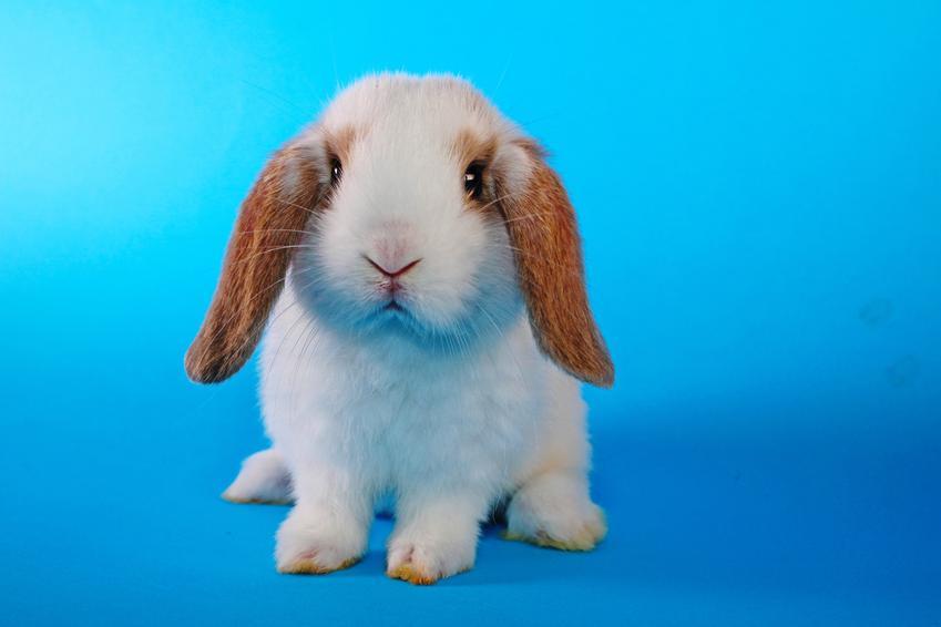 Królik rasy baranek na niebieskim tle, a także popularne rodzaje i rasy królików w Polsce