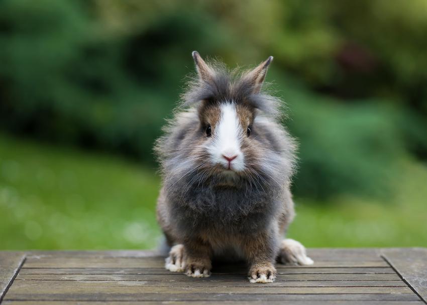 Królik rasy lew na zielonym tle, a także popularne rodzaje i rasy królików w Polsce