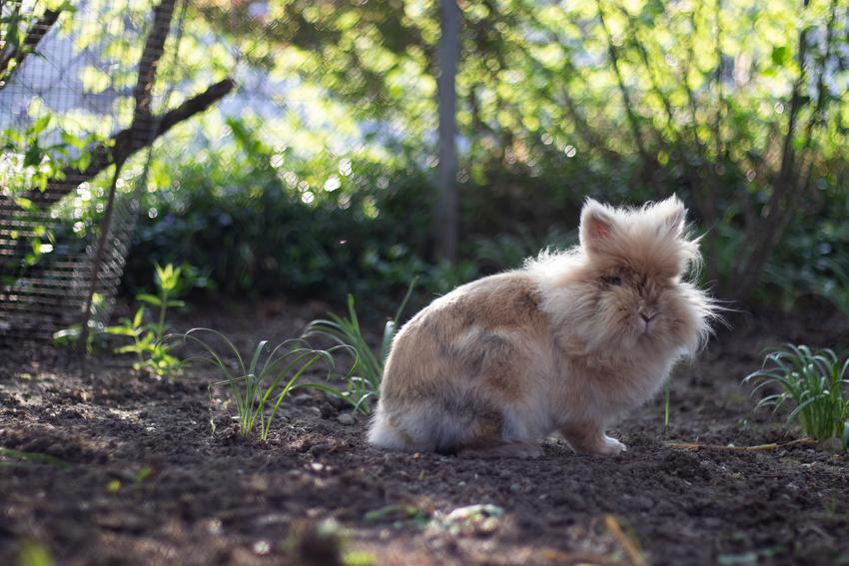 Królik rasy teddy na tle zieleni, a także popularne rodzaje i rasy królików w Polsce