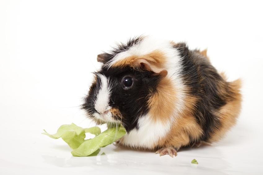 Świnka morska na białym tle jedząca sałatę, a także informacje i porady, co je świnka morska