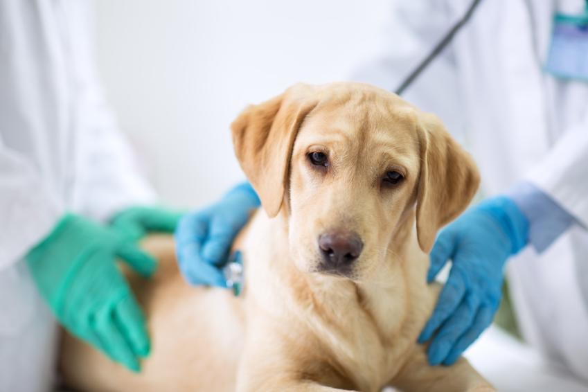 Pies u weterynarza, a także cukrzyca u psa, objawy, leczenie, przyczyny