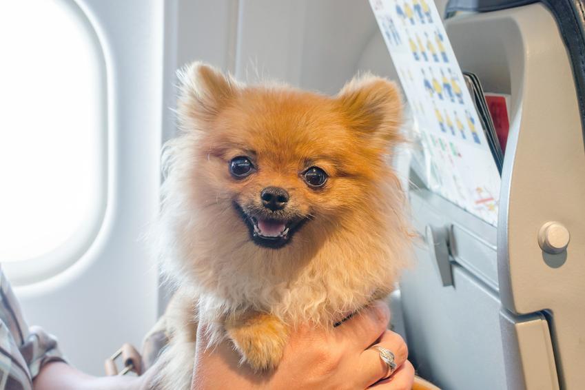 Uśmiechnięty pies na pokładzie samolotu, a także pies w samolocie i lot samolotem z psem