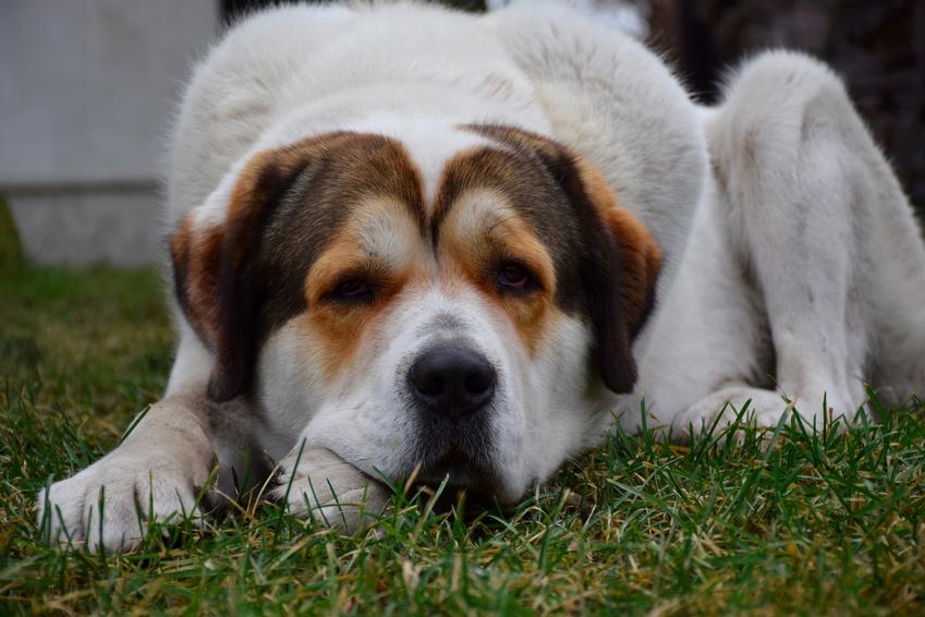 Pies rasy owczarek środkowoazjatycki leżący na trawniku, a także hodowla owczarka środkowoazjatyckiego
