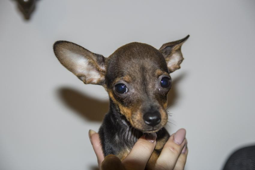 Pies rasy pinczer miniaturowy na szarym tle, a także cena pinczera miniaturowego z rodowodem