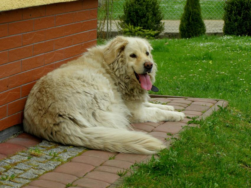 Pies rasy owczarek podhalański leżący pod ścianą domu, a także charakter owczarka podhalańskiego