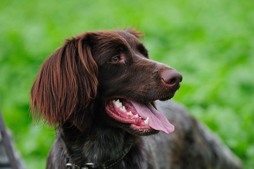 Pies rasy wyżeł niemiecki długowłosy na tle zieleni, a także jego charakter i cena