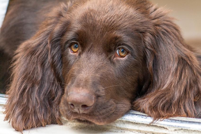 Brązowy pies rasy wyżeł niemiecki długowłosy, a także jego charakter i hodowla