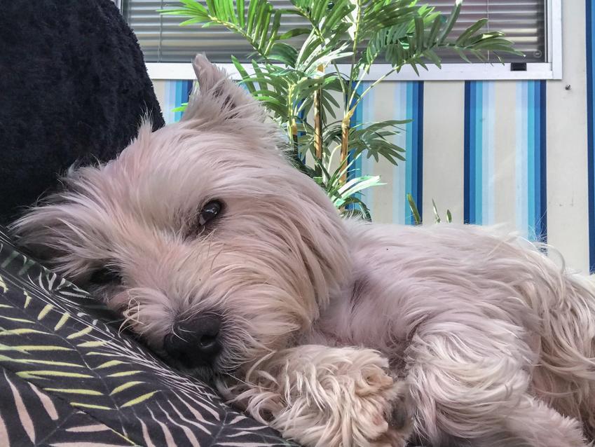 Pies rasy west highland white terrier leżący na poduszce, a także jego charakter i opis