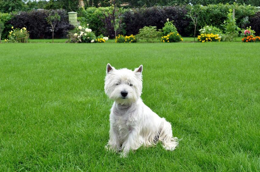 Pies rasy west highland white terrier siedzący na trawie, a także jego hodowla i cena