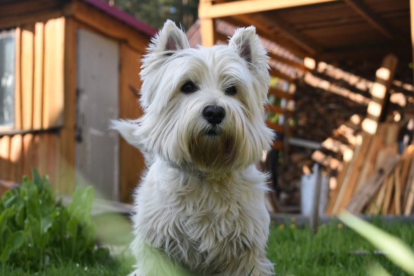 Pies rasy west highland white terrier przed domem, a także jego charakter i hodowla