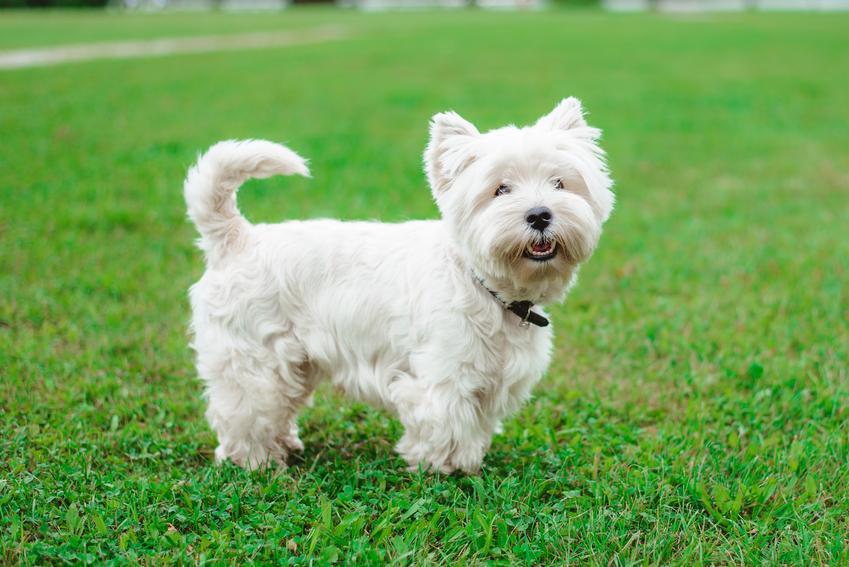 Pies rasy west highland white terrier na trawniku, a także cena west highland white terriera