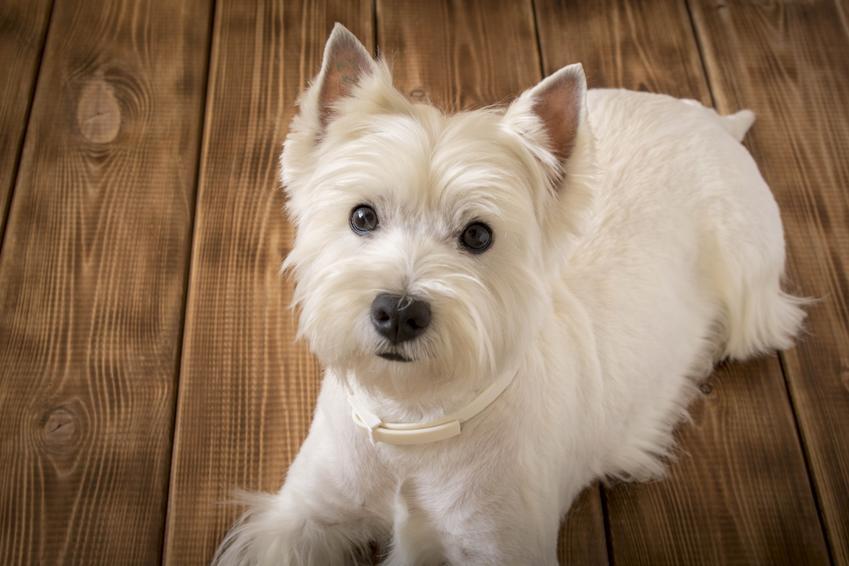 Pies rasy west highland white terrier siedzący na podłodze, a także cena west highland white terriera