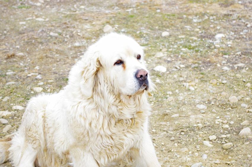 Pies rasy owczarek podhalański podczas spaceru, a także jego usposobienie i opis