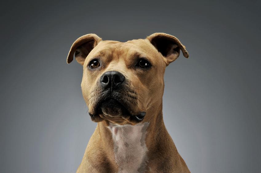 Pies amstaff na szarym tle, a także charakter i usposobienie amstaffów, czyli opis rasy
