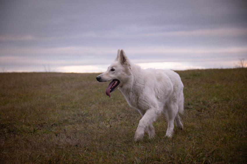 Pies rasy owczarek szwajcarski na tle nieba i zieleni, a także hodowla owczarka szwajcarskiego