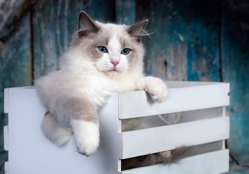 Kot szmaciana lalka siedzący w białej skrzynce, a także jego charaker i hodowla