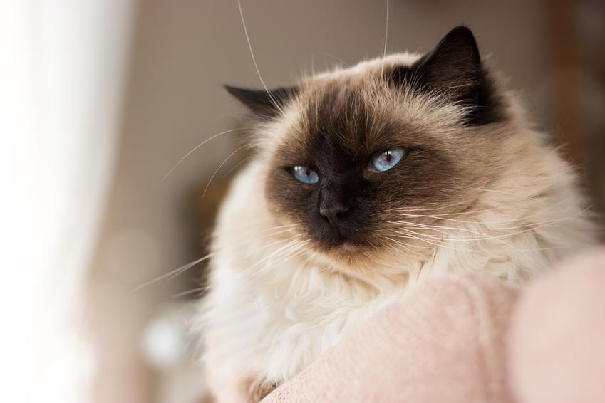 Kot rasy ragdoll czy też kot szmaciana lalka oraz jego charakter i cena