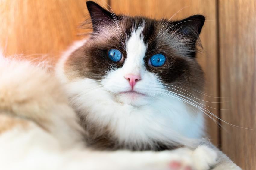 Kot rasy ragdoll z niebieskimi oczami, a także charakter ragdoll, jego hodowla i cena