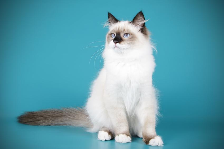 Kot rasy ragdoll na niebieskim tle oraz charakter ragdoll, jego cena i wychowanie