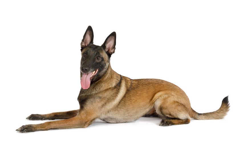 Pies rasy owczarek belgijski na białym tle, a także cena owczarka belgijskiego