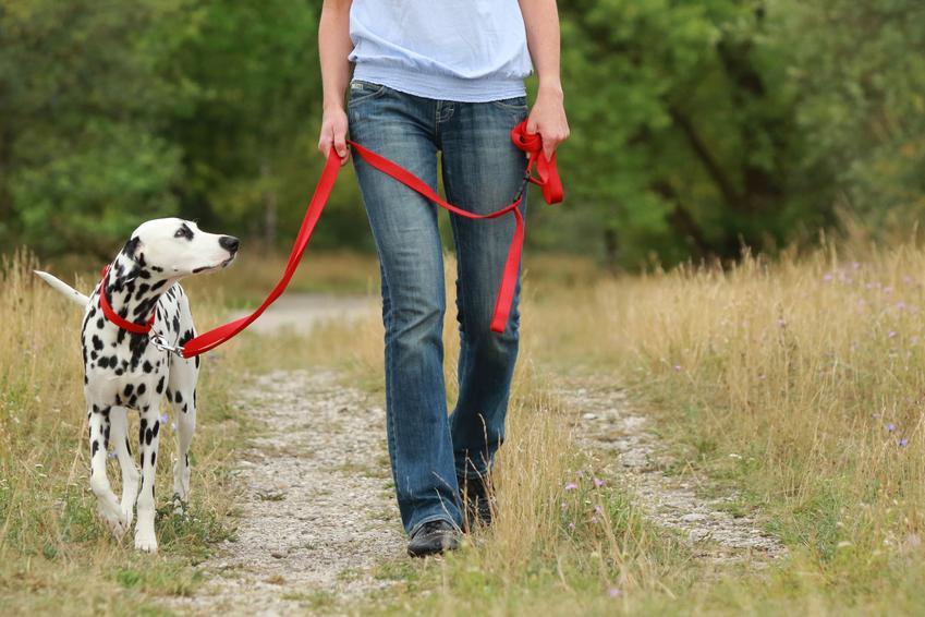 Pies dalmatyńczyk na czerownej smyczy w czasie spaceru oraz jak nauczyć psa chodzić na smyczy