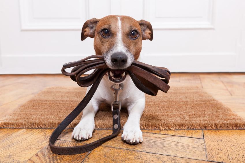 Pies trzymający smycz w pysku oraz porady, jak nauczyć psa chodzić na smyczy