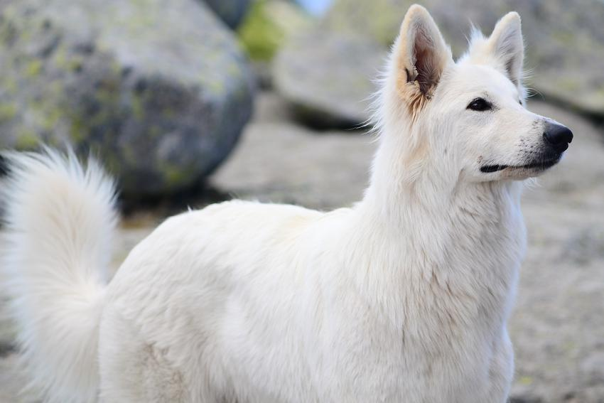 Pies rasy biały owczarek szwajcarski, a także inne najpiękniejsze rasy psów na świecie