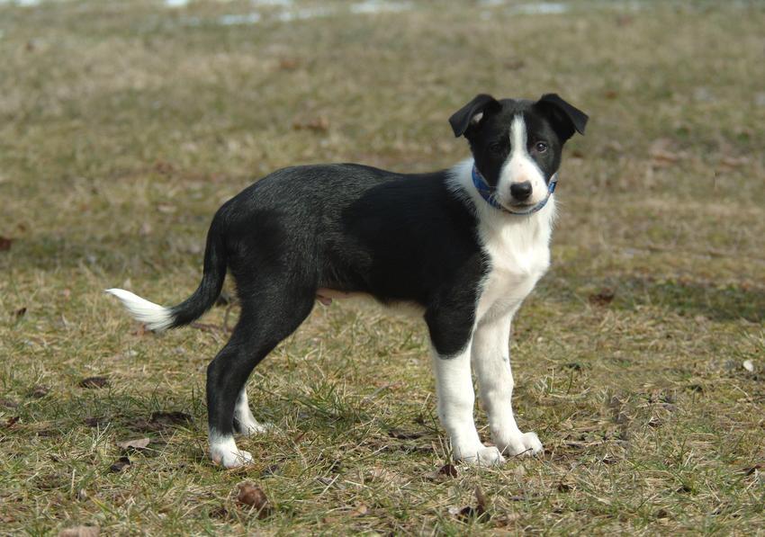 Pies rasy border collie na tle zieleni, a także inne najpiękniejsze rasy psów na świecie