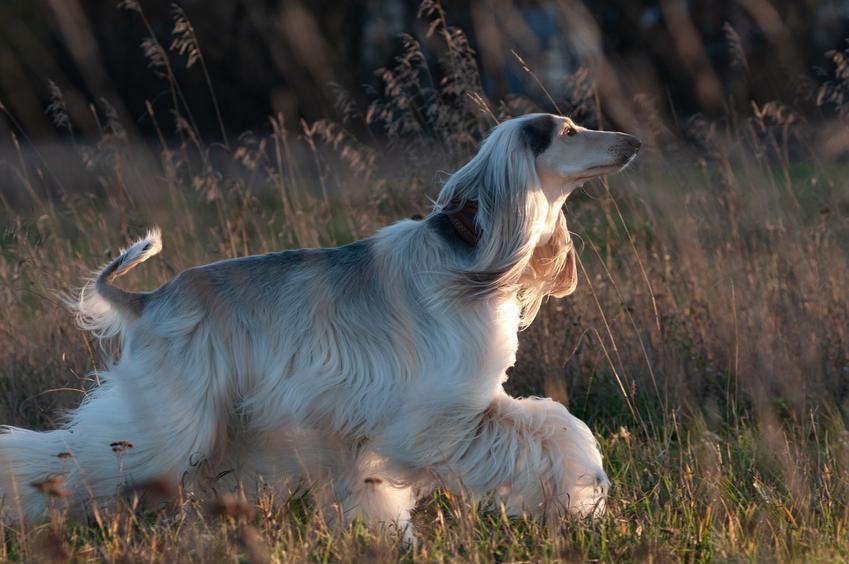 Pies rasy charta afgański, a także inne najpiękniejsze rasy psów na świecie