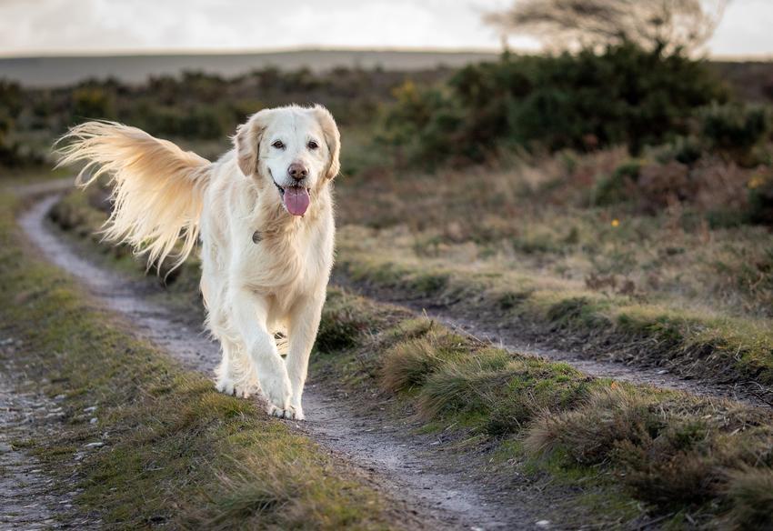 Pies rasy golden retriever na tle zieleni, a także inne najpiękniejsze rasy psów na świecie
