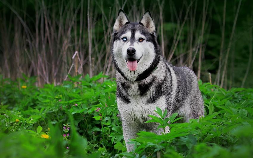 Pies rasy husky na tle zieleni, a także inne najpiękniejsze rasy psów na świecie