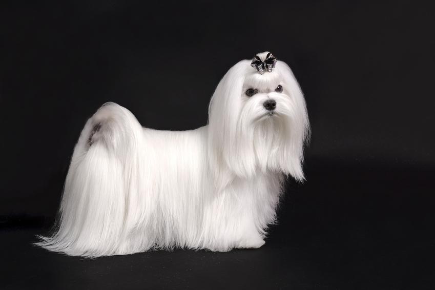 Pies rasy maltańczyk na czarnym tle, a także inne najpiękniejsze rasy psów na świecie